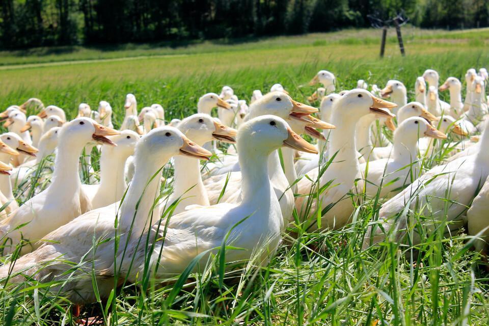 Enten auf einer Wiese