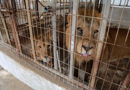 Leeuwen in Gaza