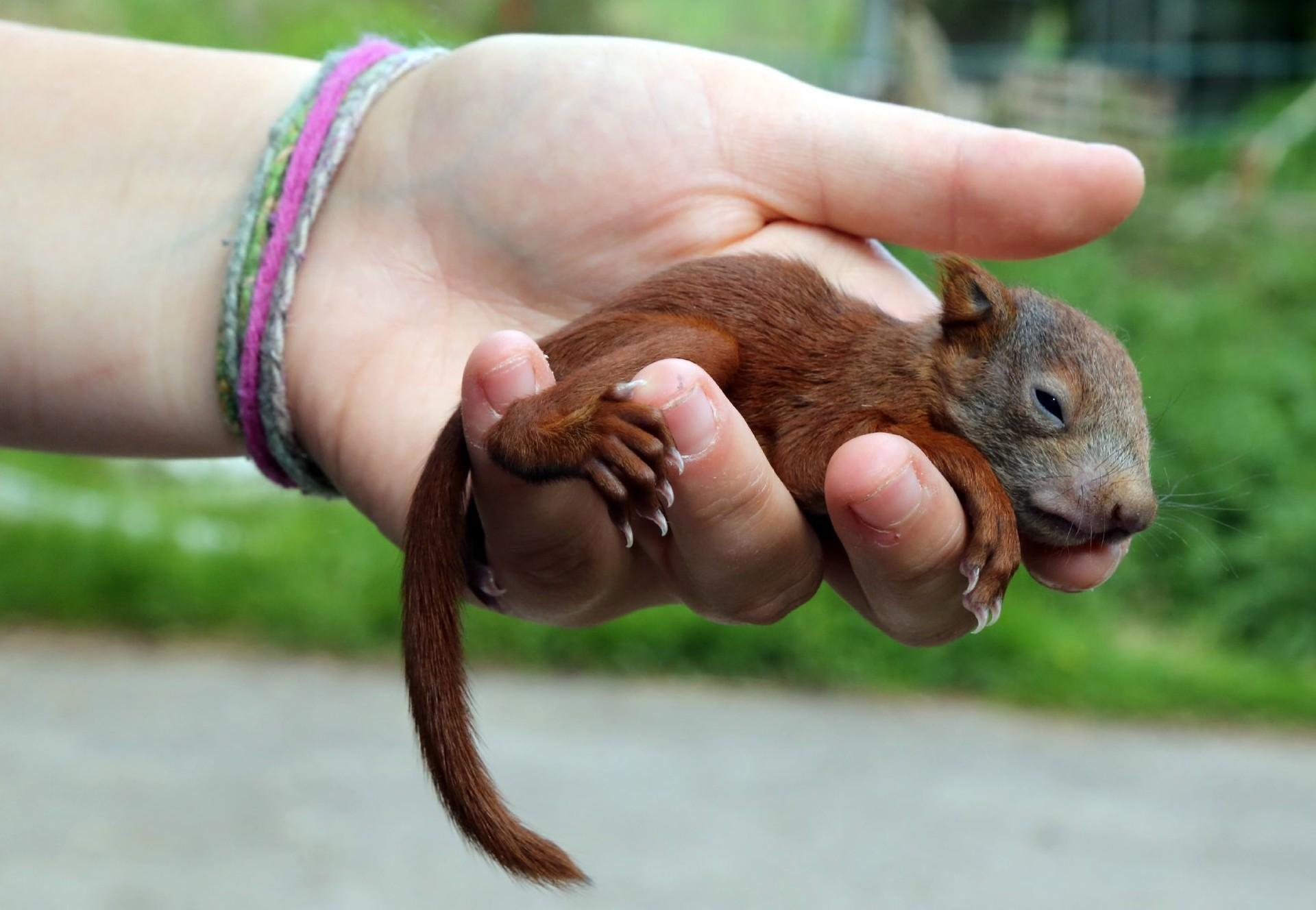 Baby red squirrel being held in hand