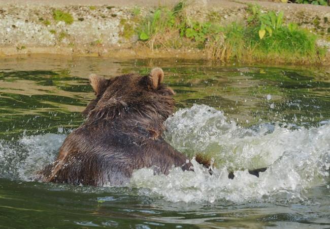 Braunbär im Teich, das Wasser spritzt