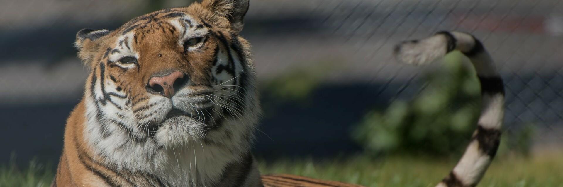 Tiger genießt die Sonne bei TIERART