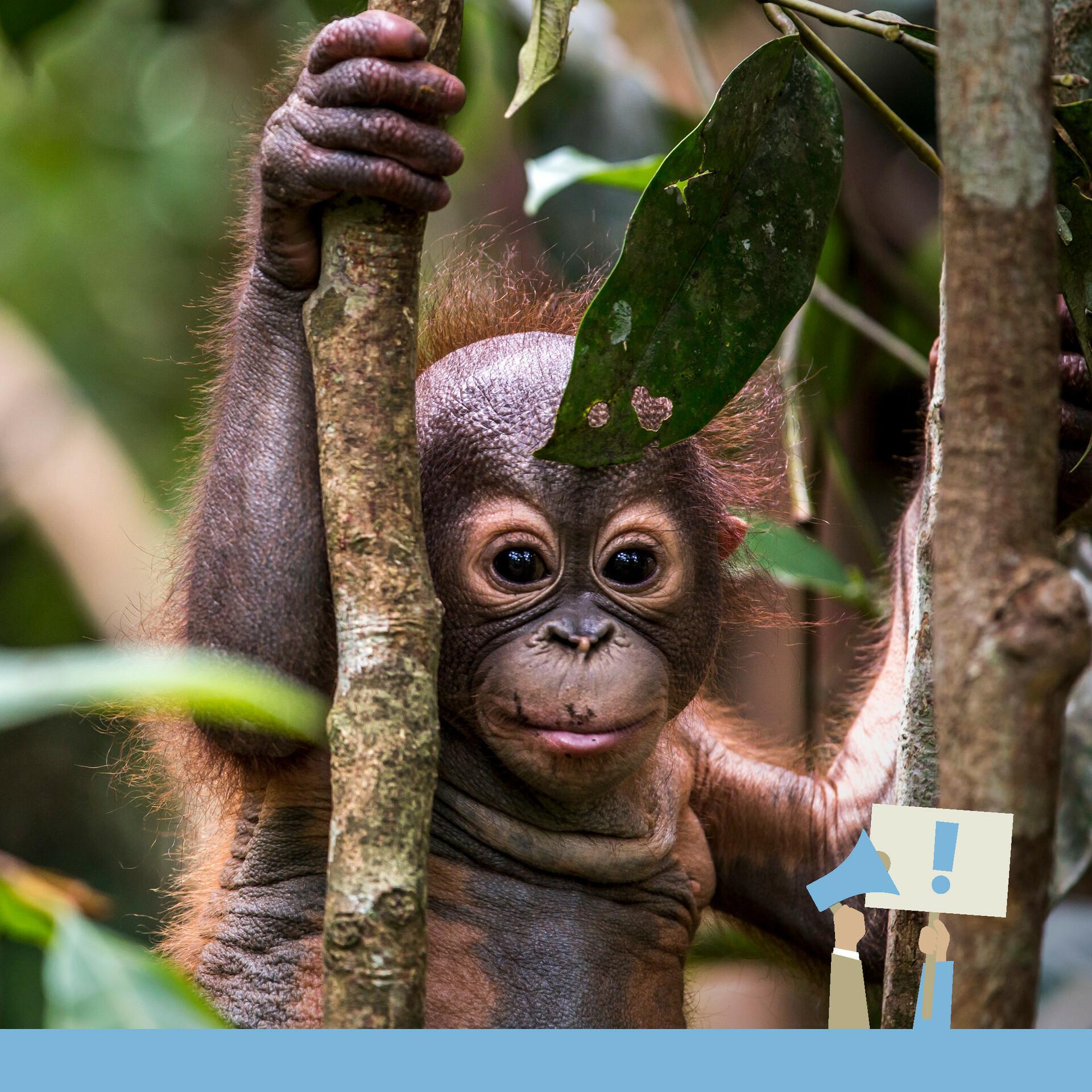 Schönere Neue Welt - Bild mit Orang Utan in Borneo