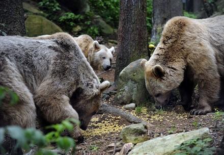 drei Bären bei der Futtersuche