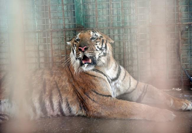 Tiger Laziz in an enclosure before he was rescued