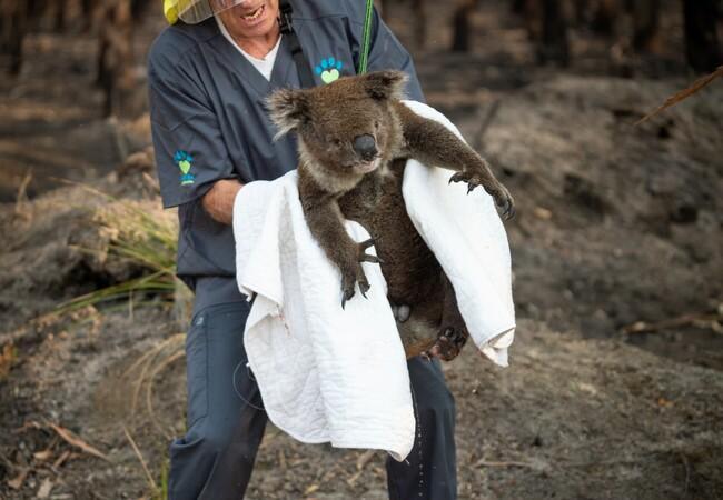 Koala being rescued from Australian bushfire, 2020