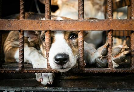 commerce de viande de chien et de chat