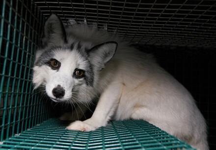 Fox at furfarm