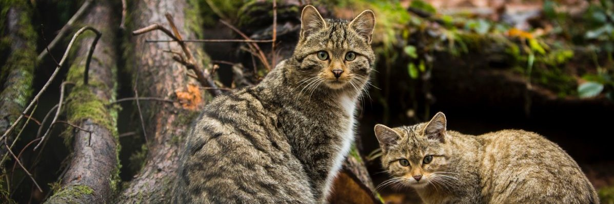 Wildkatzen bei TIERART