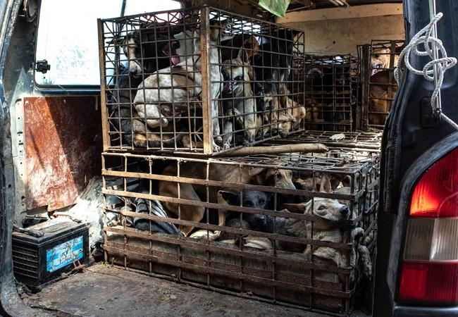 Gefangene Hunde in Kambodscha