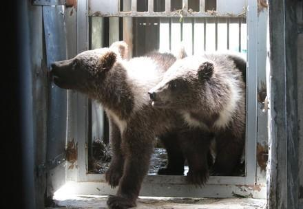 Bear cubs exploited for selfies and petting interactions rescued in Ukraine
