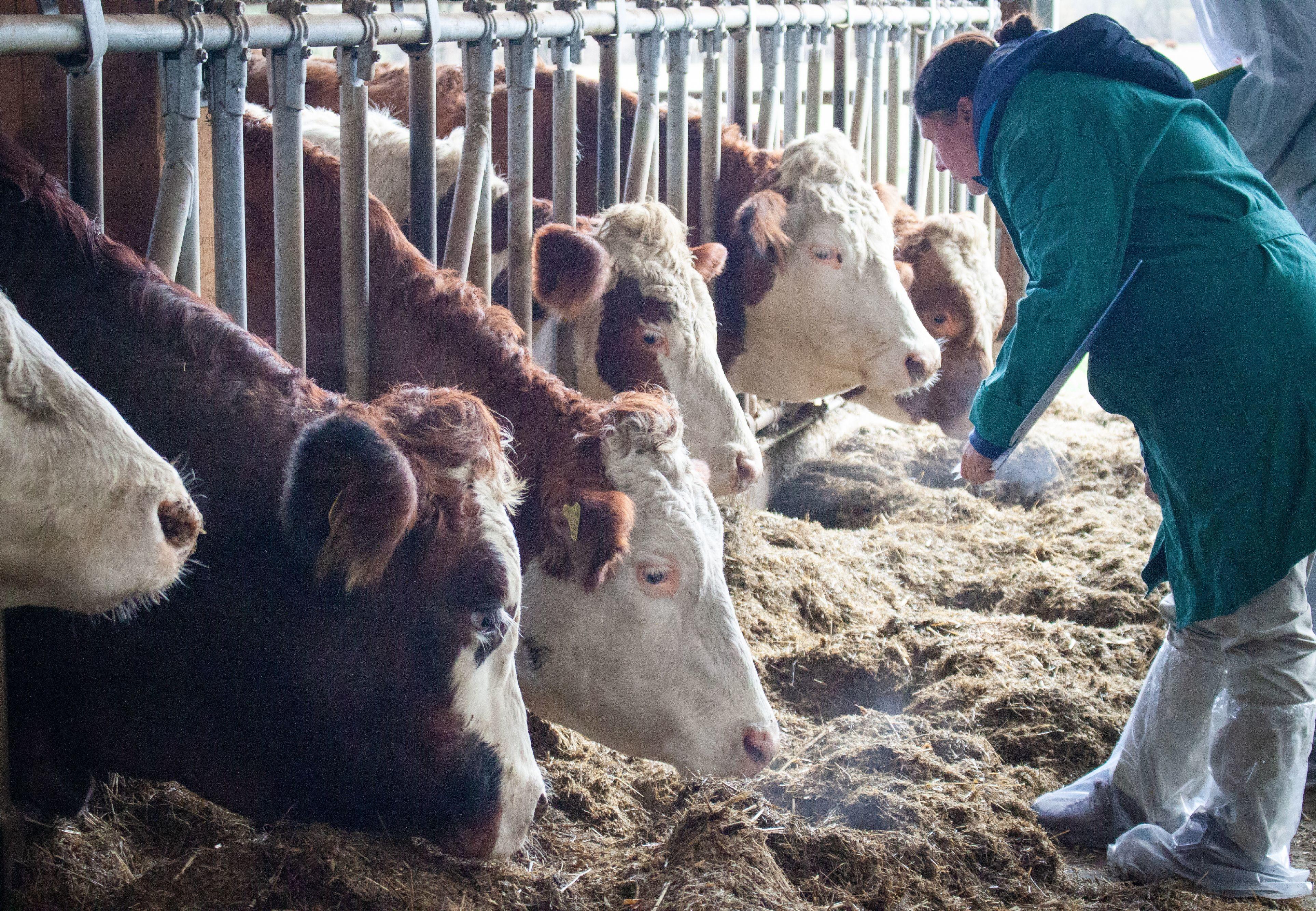 Landwirtschaftlicher Betrieb mit Kühen