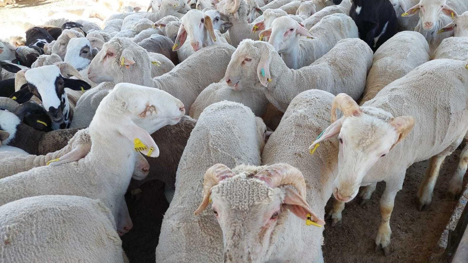 österreichische Schafe beim Schlachter in Jordanien