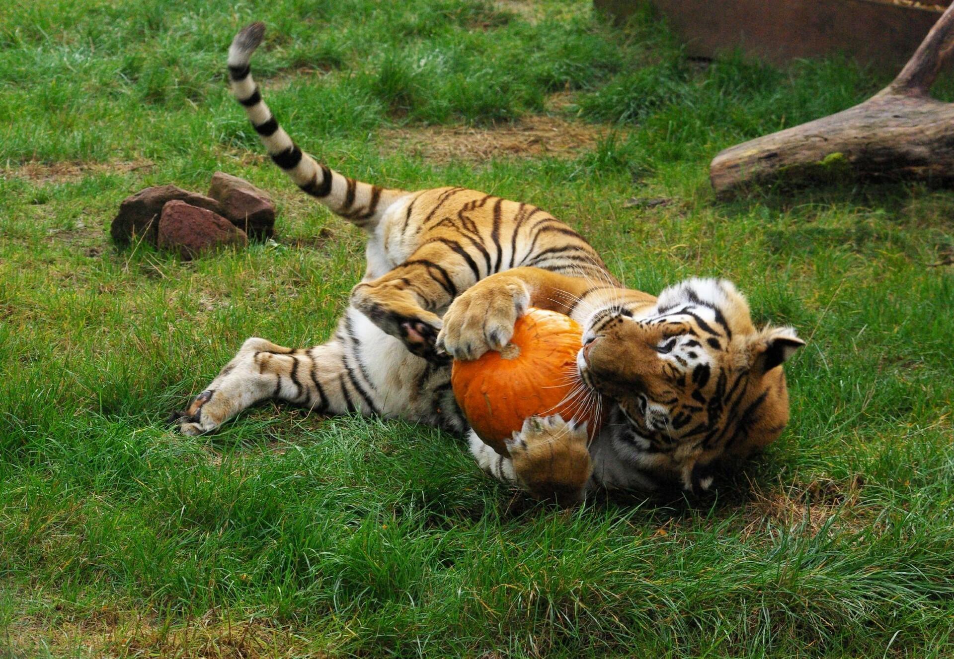 Tiger Varvara in TIERART