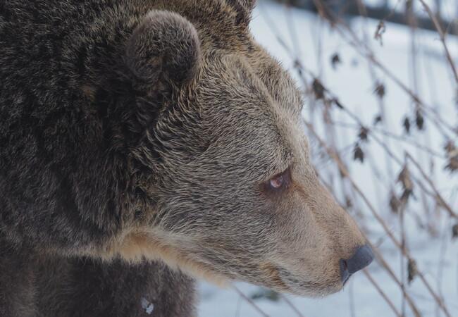 Braunbärin Brumca im Profil, im Hintergrund Schnee