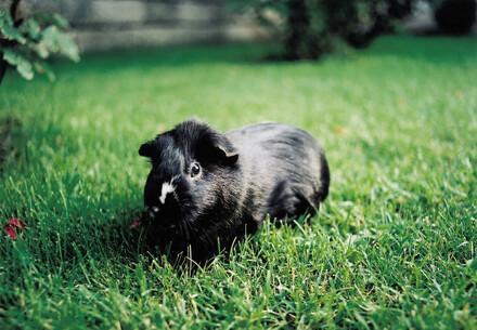 We help guinea pigs
