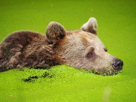 Bear Brumca in a pond full of duckweeds