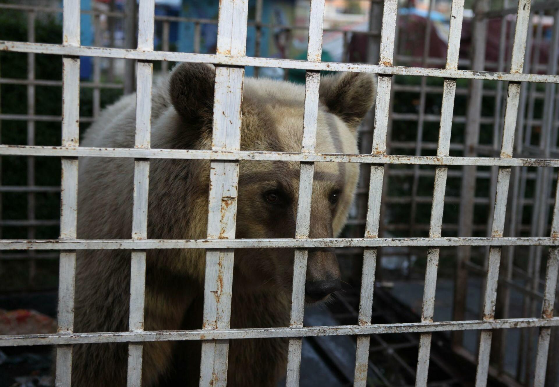 Rescue of brown bear Luna