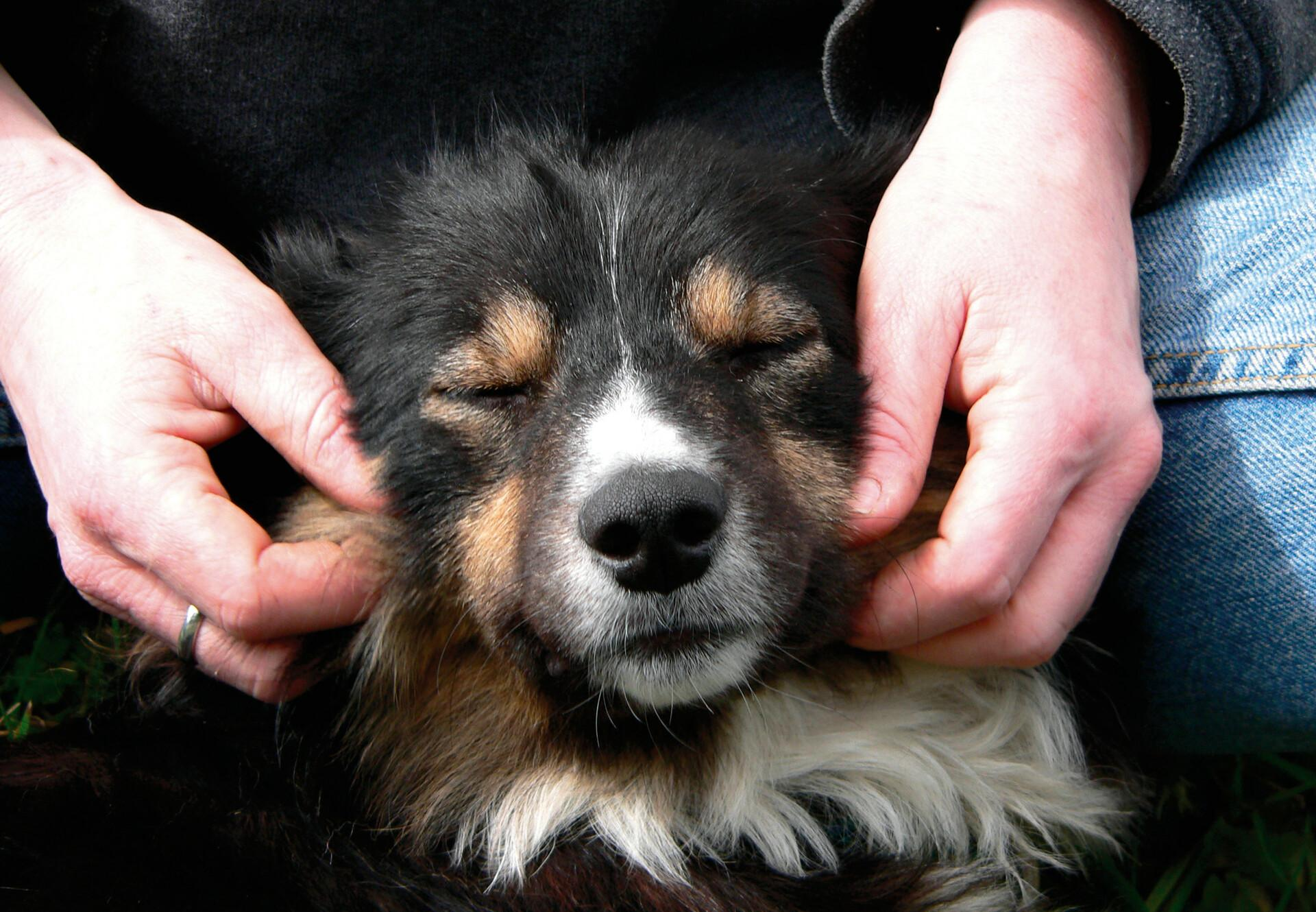 Dog being petted