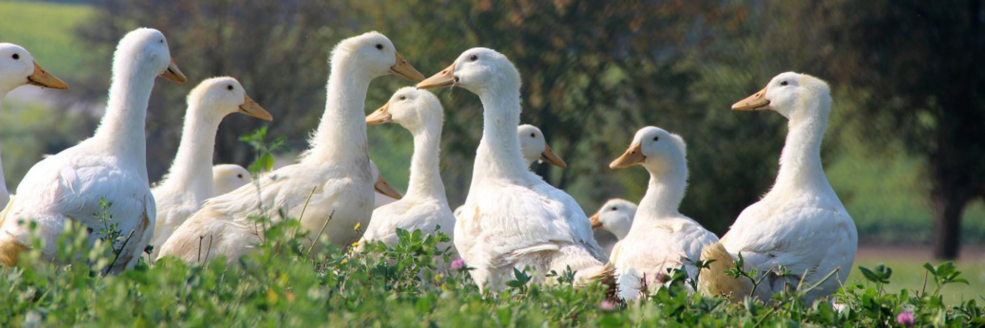 Des canards en liberté