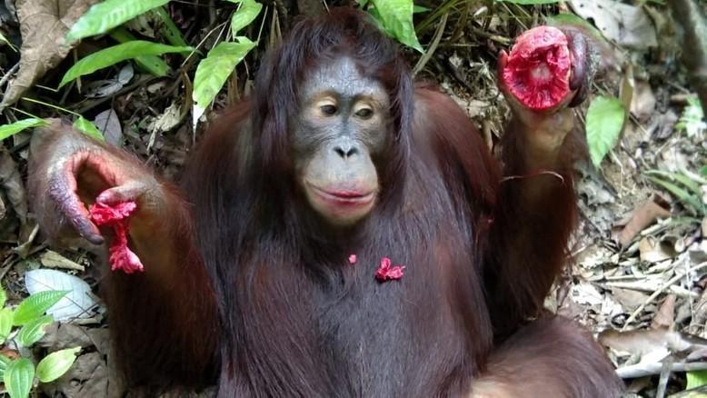 Orangutan and Artocarpus