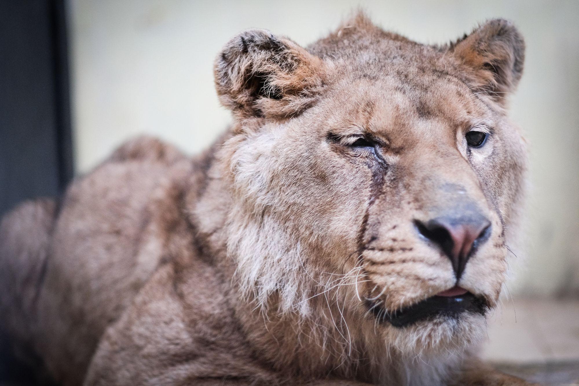 lion-background