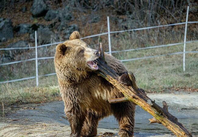 Teddy spielt mit einem Stock