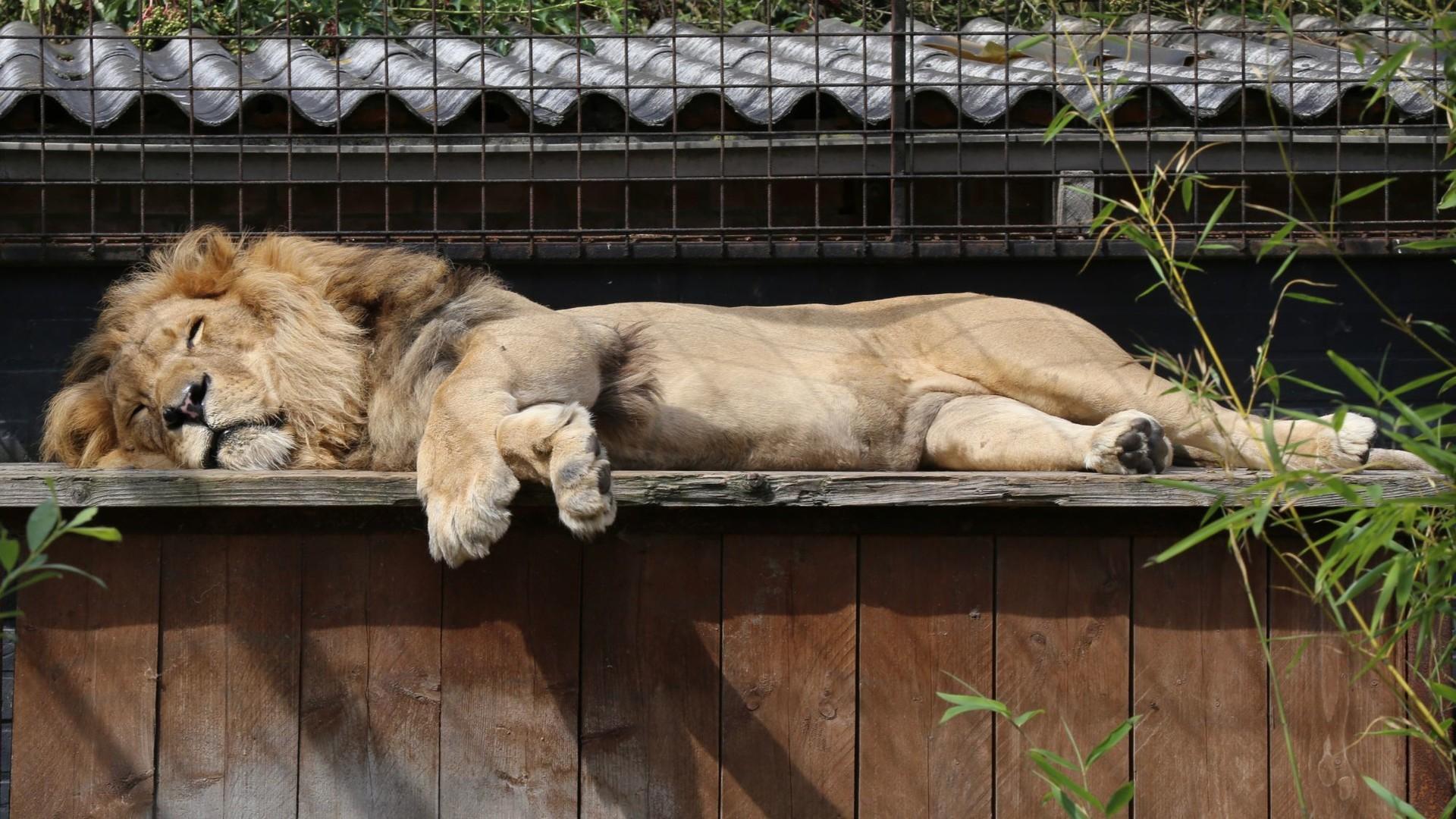 Löwe Bobby entspannt in der Sonne