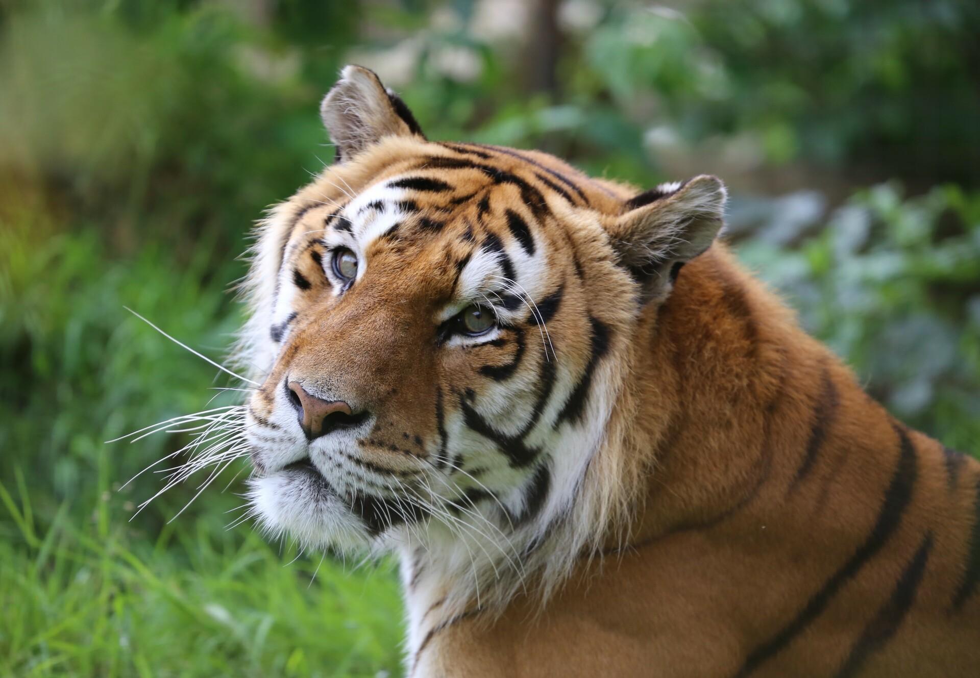 Tiger Caruso