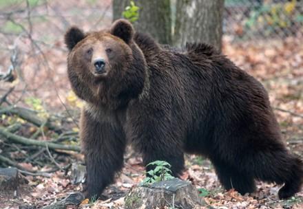 Bear Lelya at BEAR SANCTUARY Domazhyr