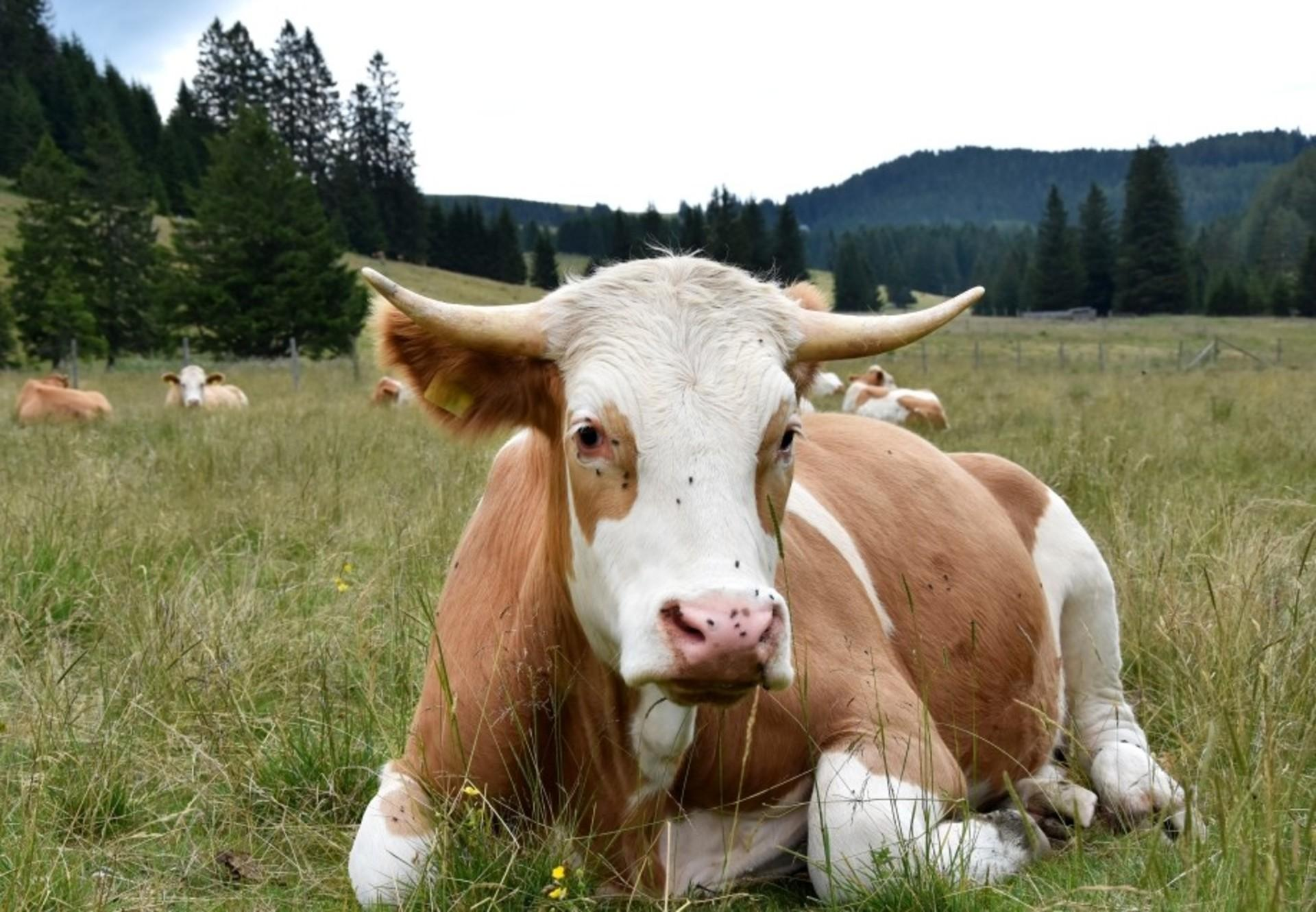 black-and-brown-cow