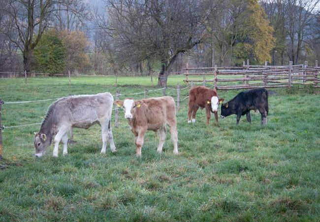 """Rinderhaltung bei """"Tierschutz-kontrolliert"""""""