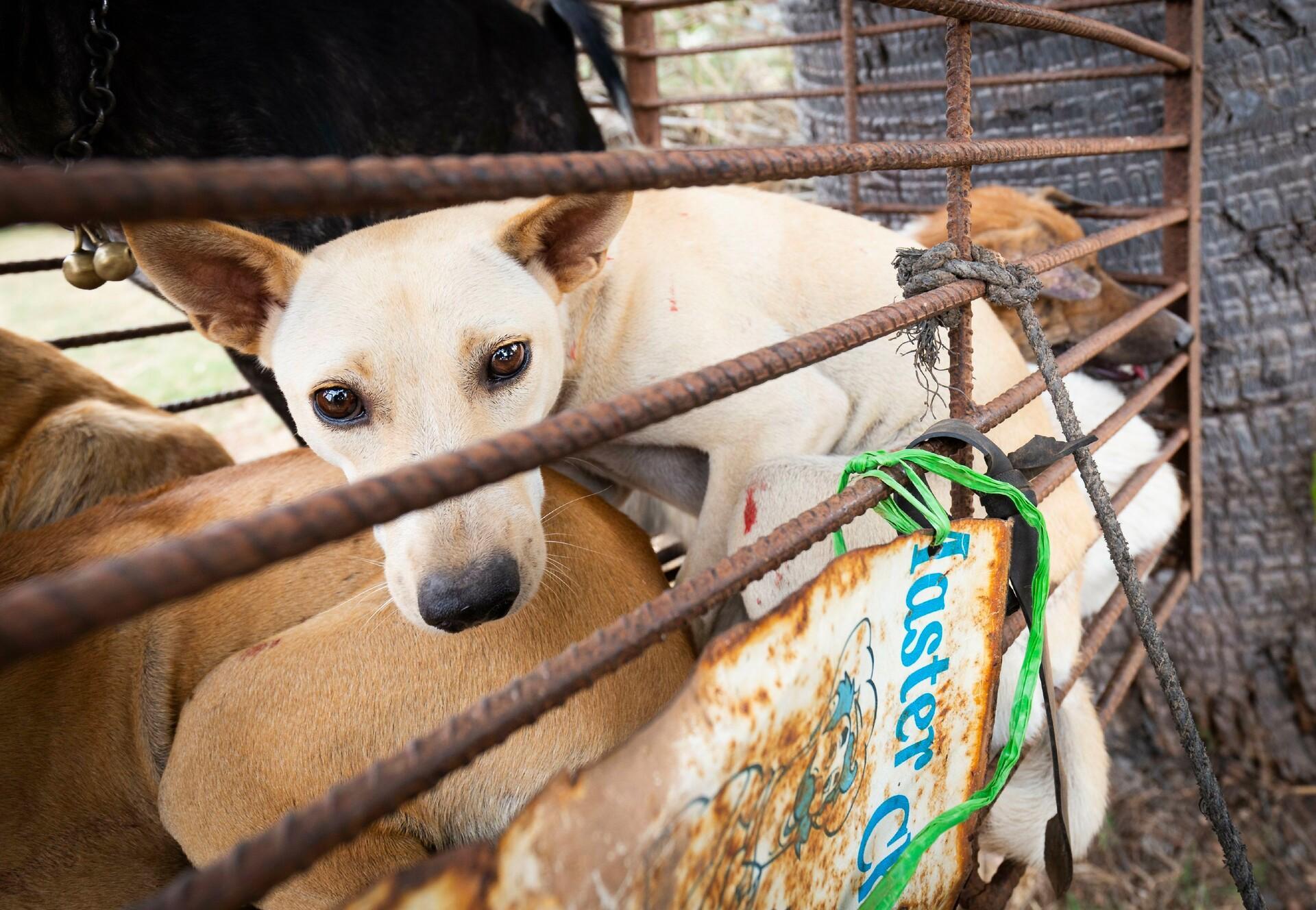 Een hond in een kooi op een motobike Takeo, Cambodja