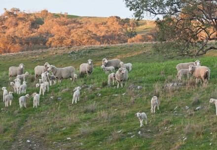 Schafherde mit Lämmern in Australien