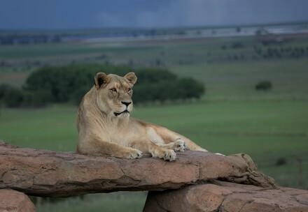 QUATRE PATTES a déjà sauvé de nombreux grands félins. (Exemple d'image du refuge pour grands félins LIONSROCK)