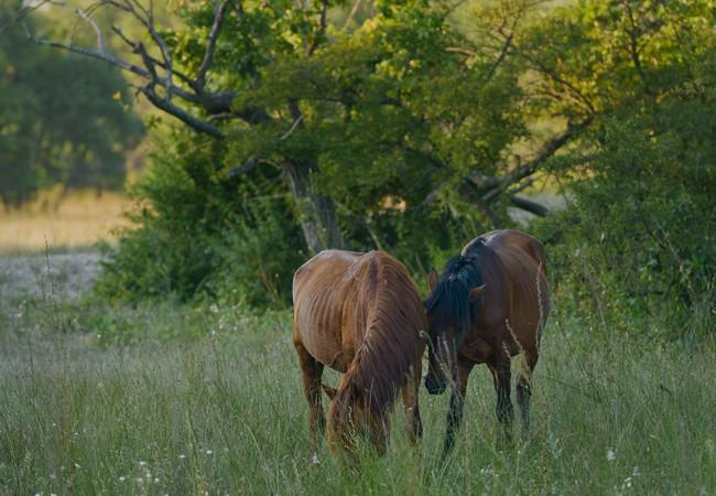 Wild horses in the Letea forest reserve