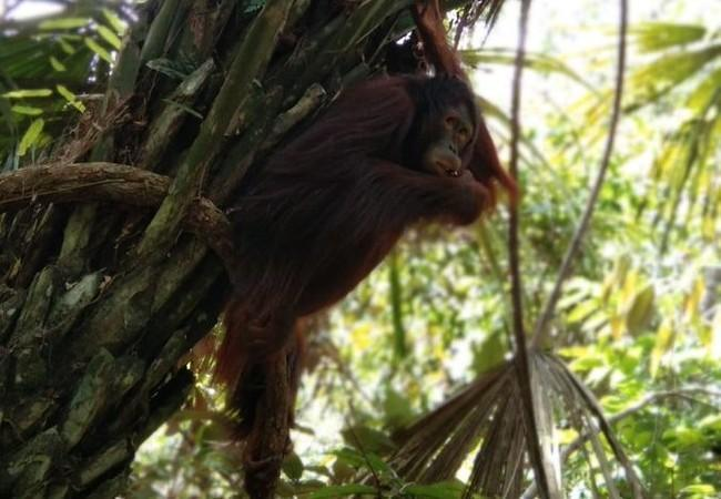 Orangutan Amalia in the trees