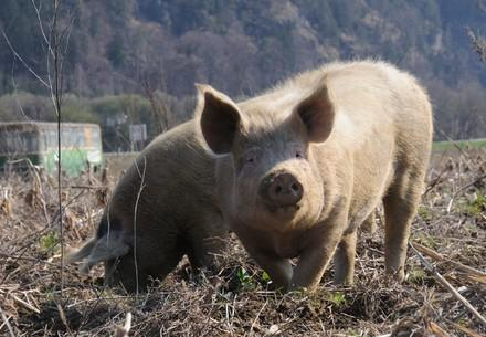 Free range pigs enjoying the mud
