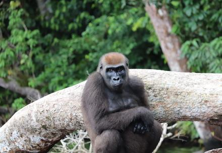 Female gorilla sitting on a stone