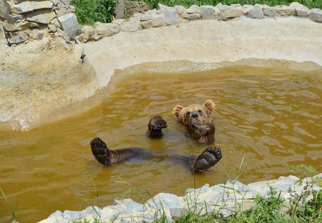 Rescued brown bear plays in water at sanctuary