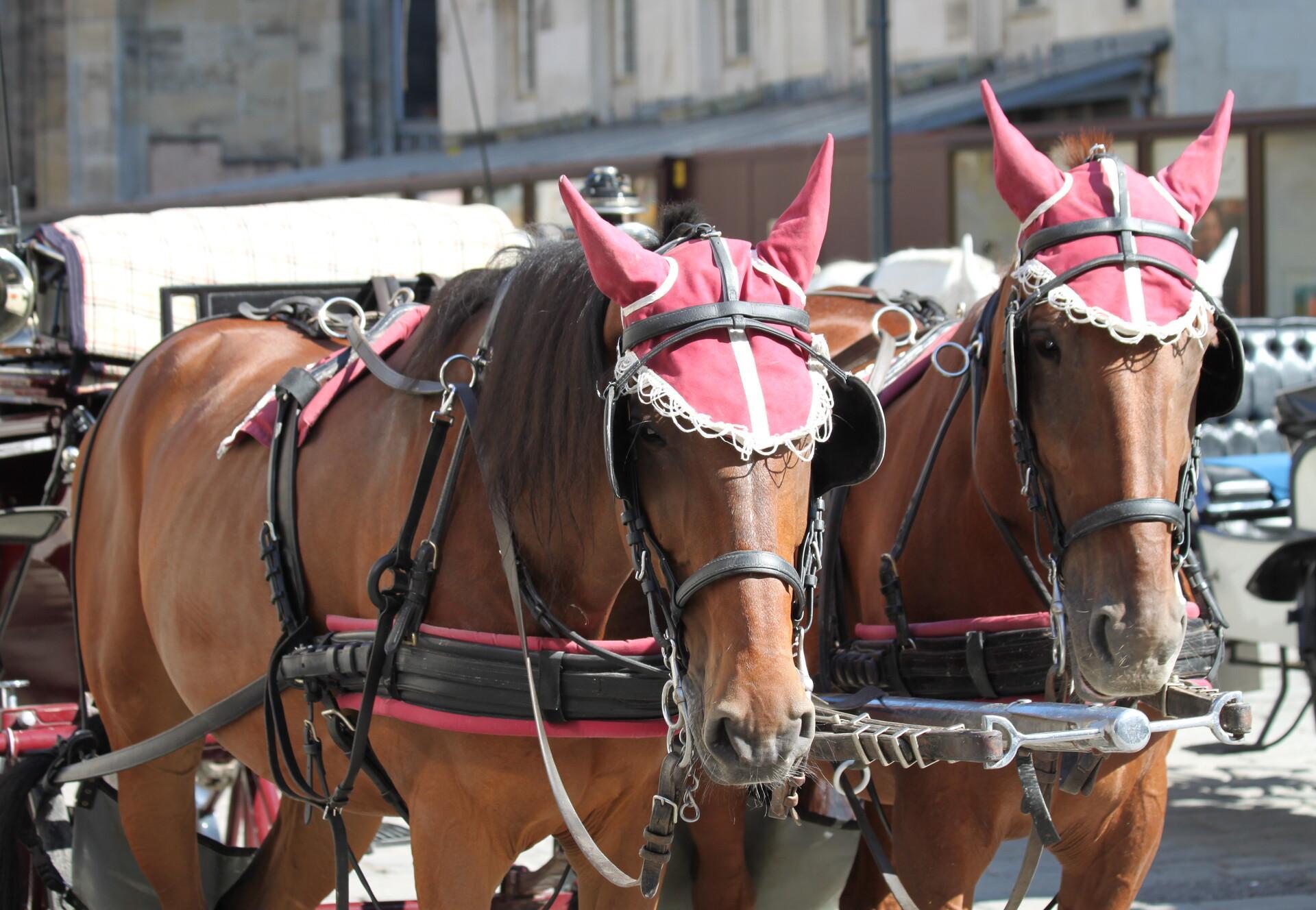 Fiaker Pferde stehen in Wien bei eisiger Kälte und Schnee