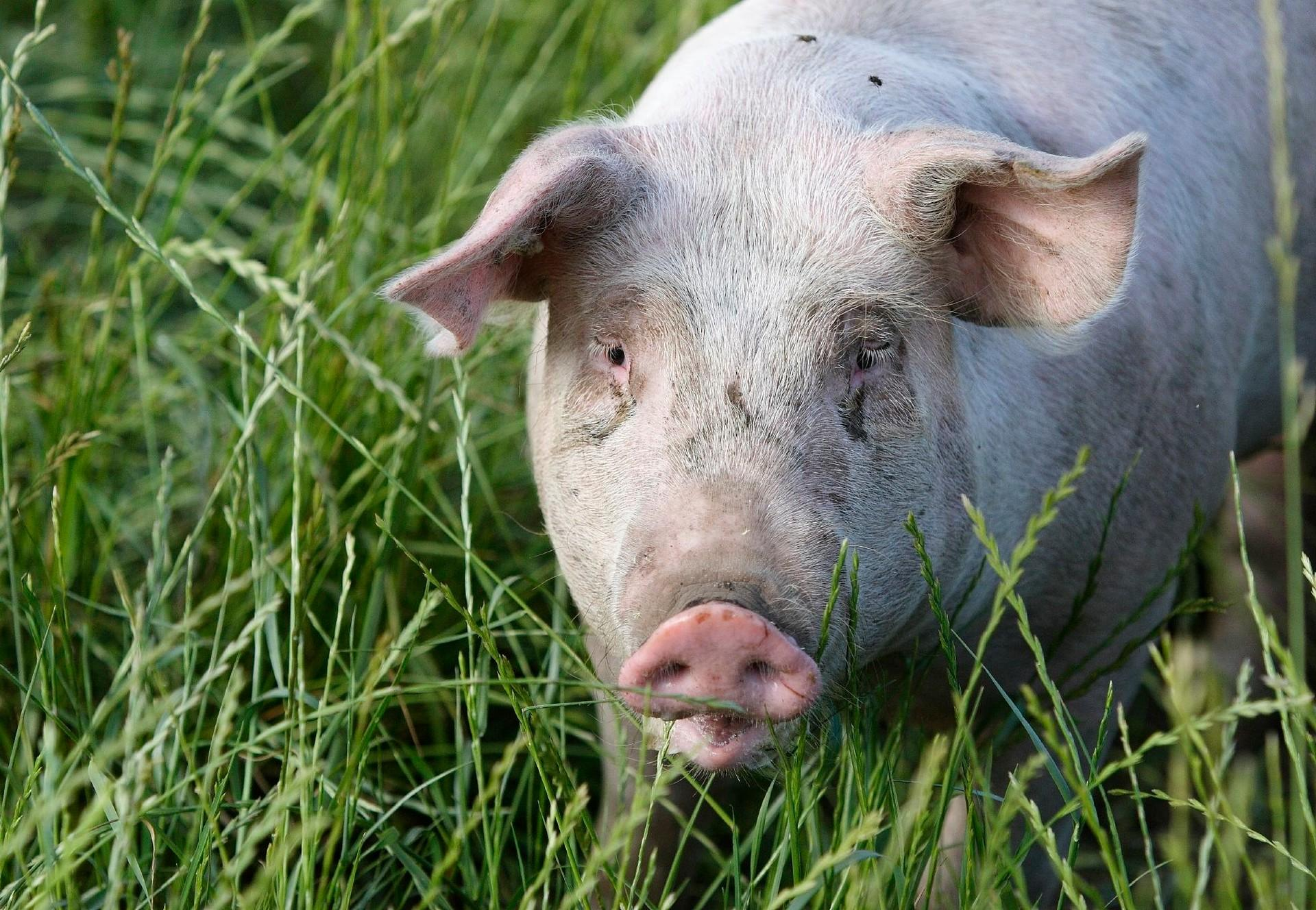 10 Facts about Pigs - Farm Animals - Topics - Campaigns