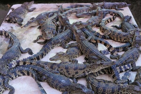 Croc Farm Cambodia