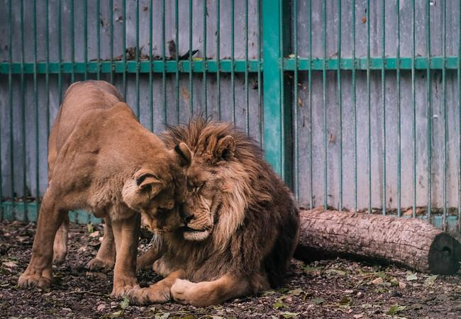 Löwenpaar aus dem Zoo von Razgrad in Bulgarien