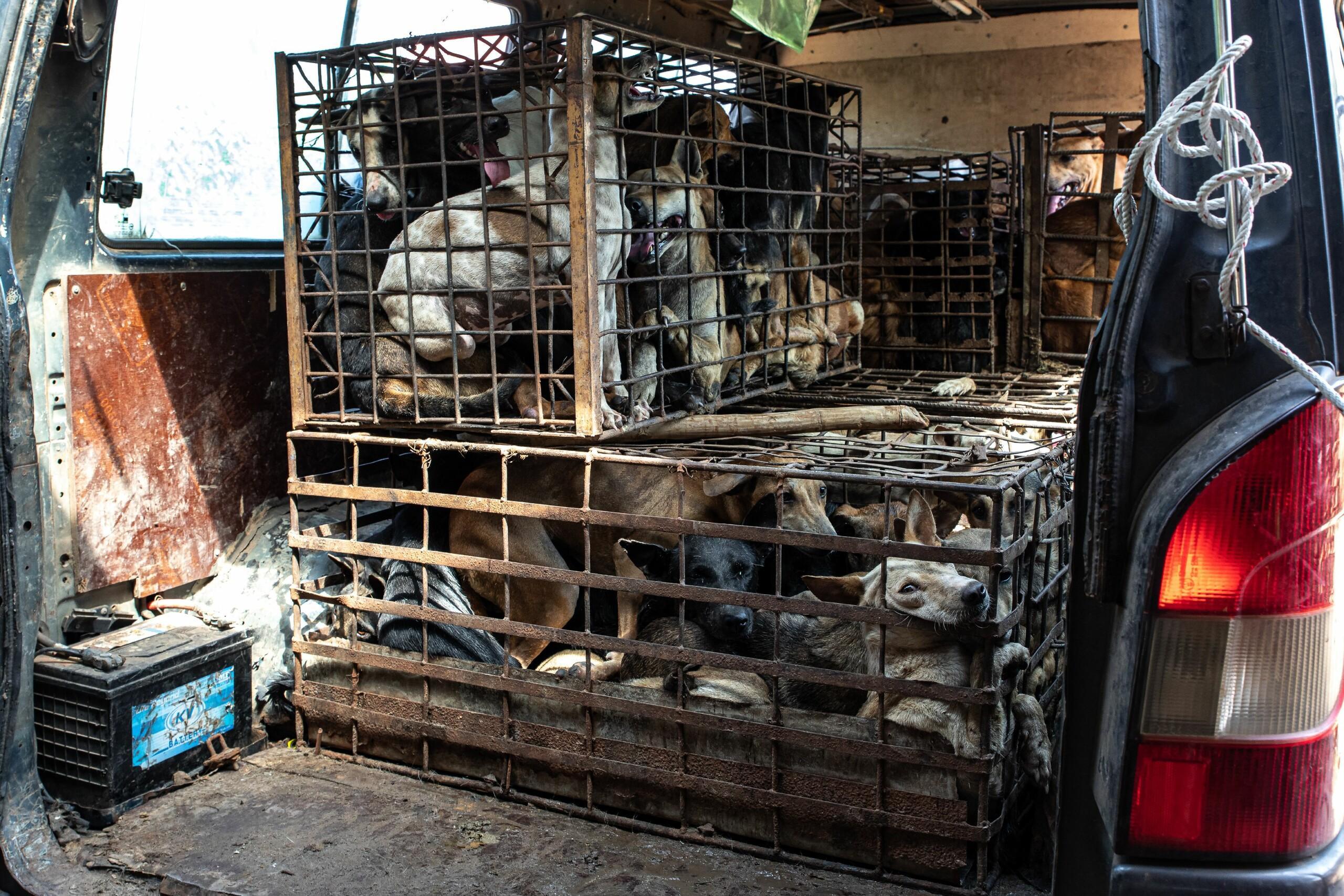 Hundefleischhandel in Kambodscha