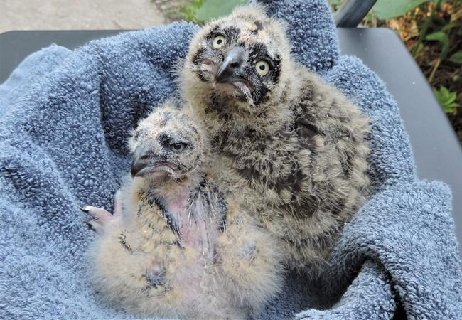 Injured owlets
