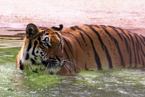 Tiger im Wasser bei TIERART