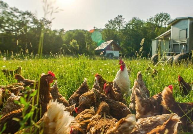 Im mobilen Stallen picken die Hühner ihr Futter gemeinsam