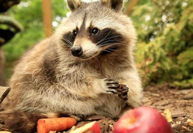 Heute auf dem Speiseplan: Apfel und Möhre