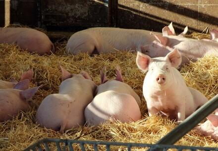 Schweine bei der Familie Korntner, einem Betrieb der Hütthaler Hofkultur.