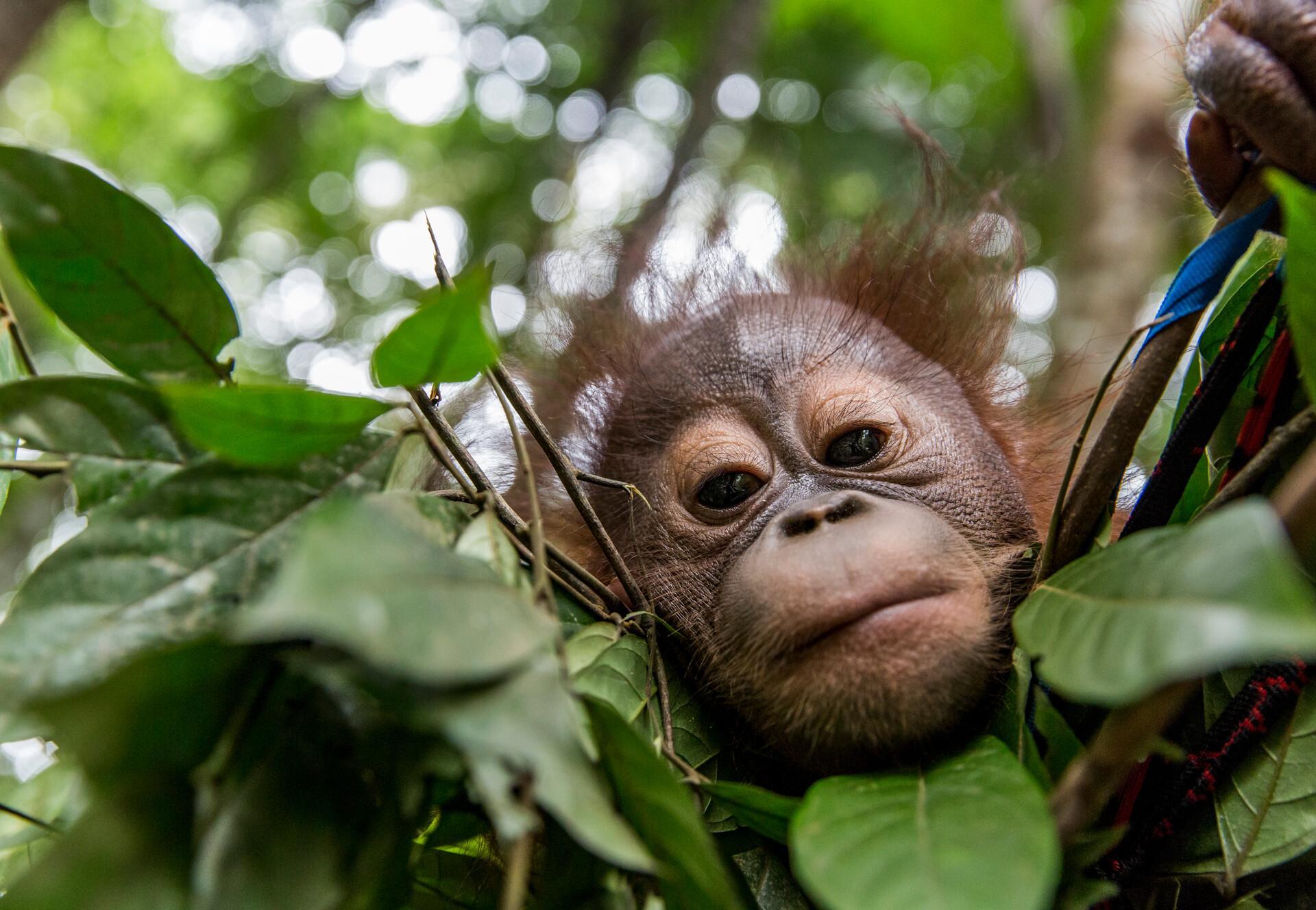 Un orang-outang observant son environnement depuis la cime d'un arbre